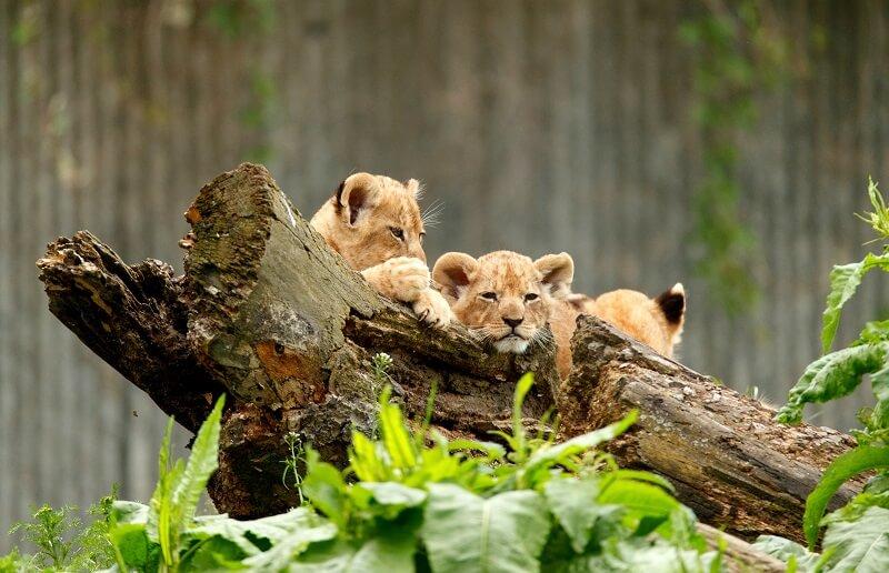 Københavns Zoologiske Have havde også fremgang i 2017. 2,7% flere gæster fandt vej til haven. (Foto: Zoologisk Have København)